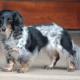 long haired dapple dachshund