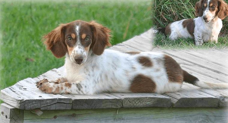 Chocolate long haired piebald dachshund