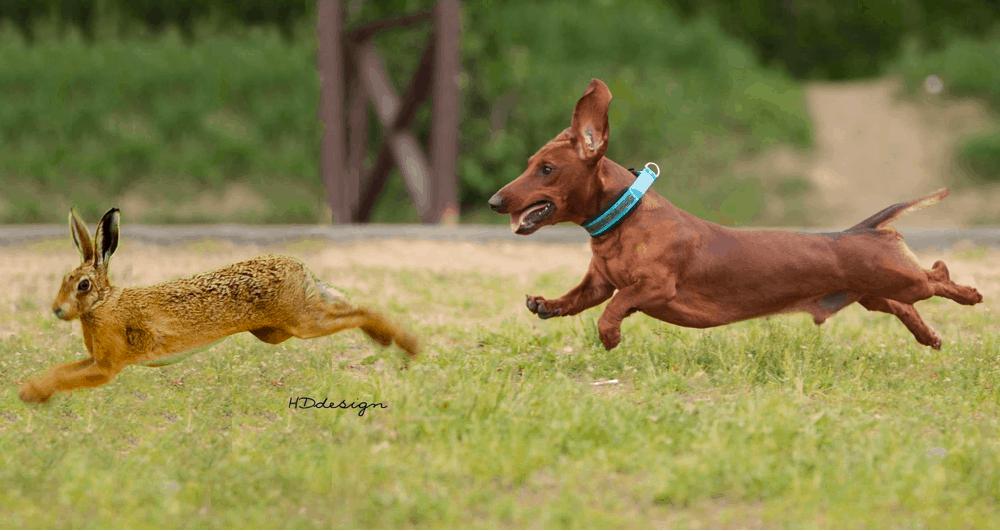 miniature dachshund hunts rabbits and squirrels