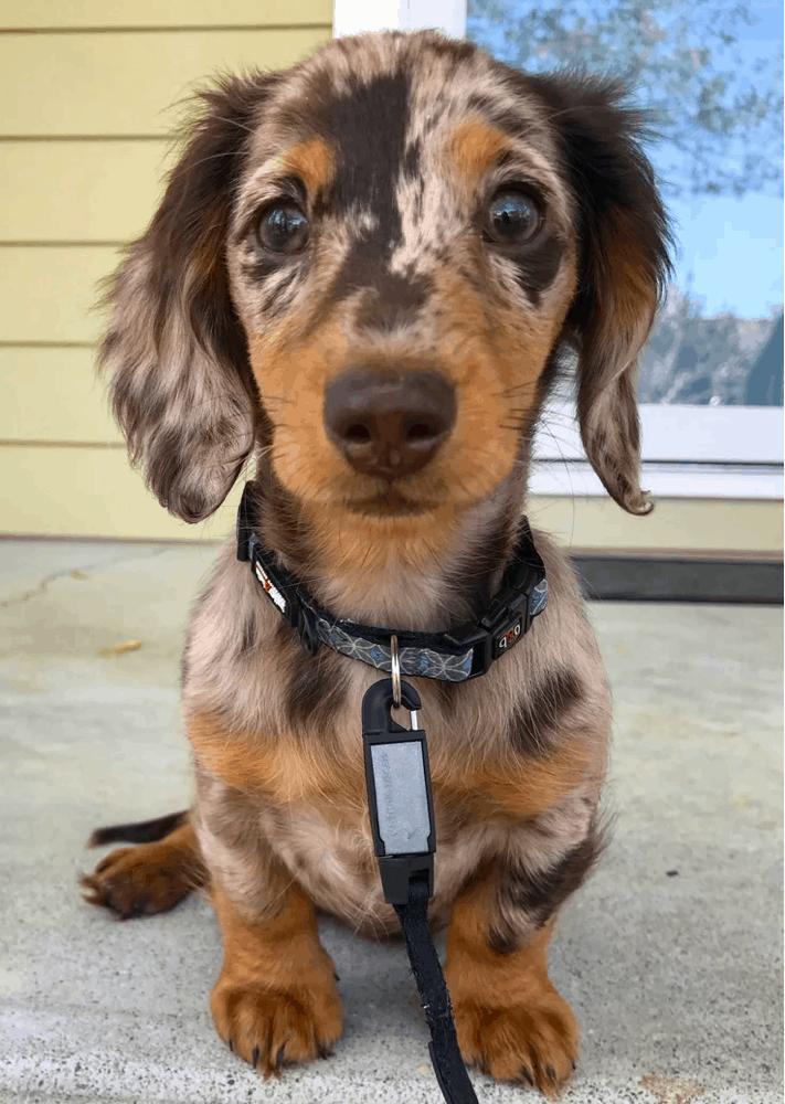 miniature long haired dapple dachshund