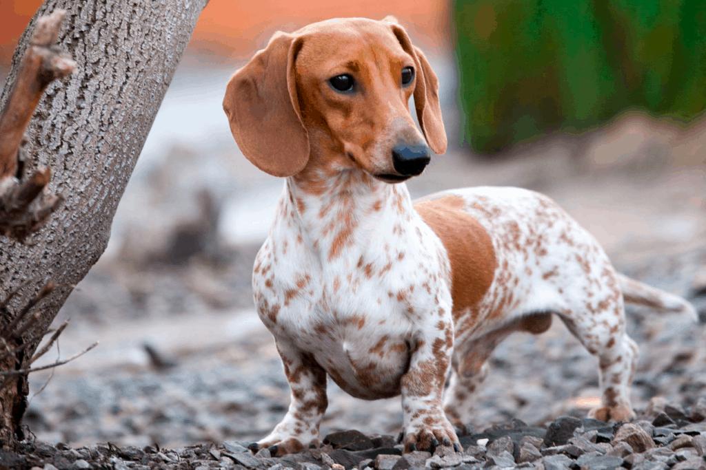 piebald short haired dachshund