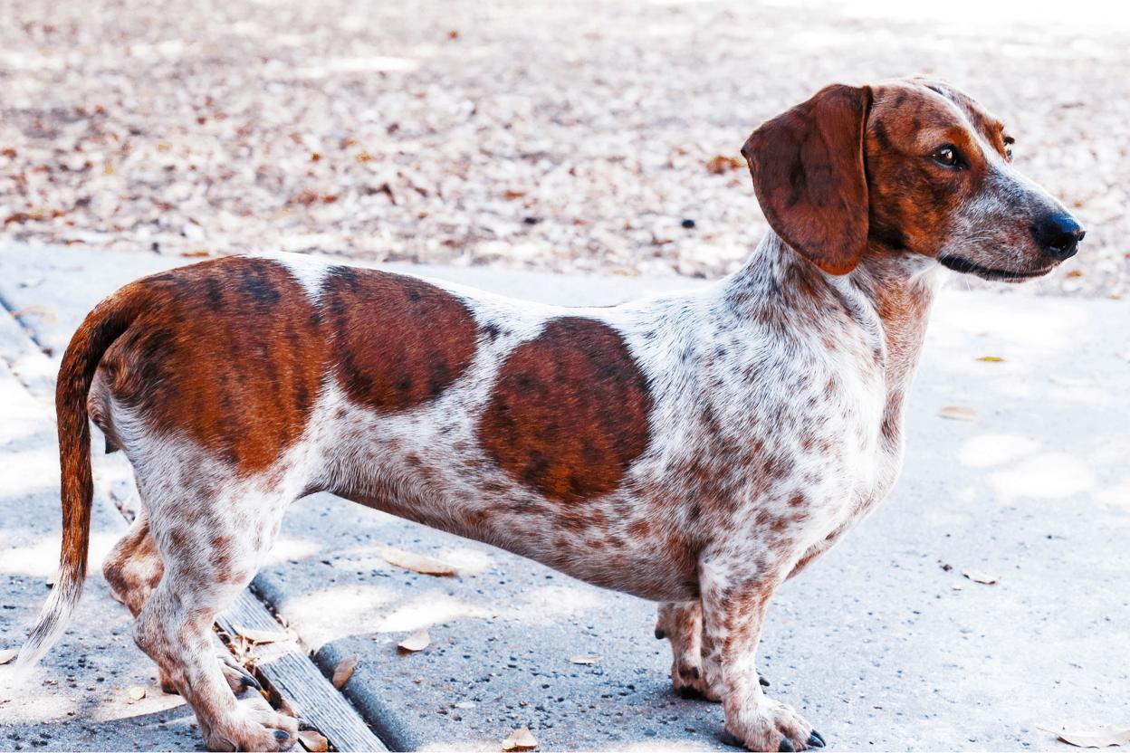 red piebald dachshund