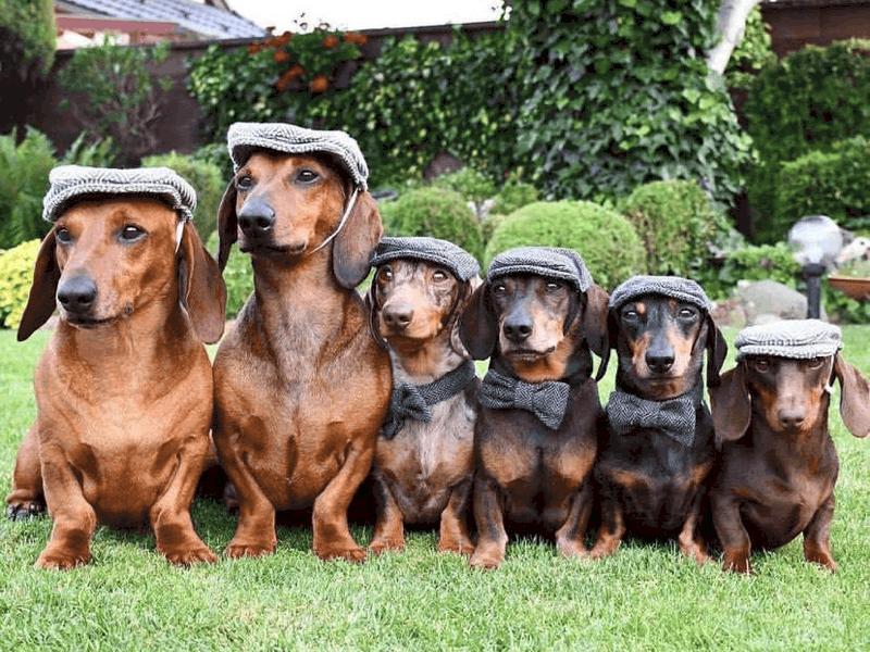 when do dachshunds stop growing