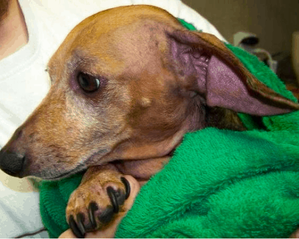 yeast infection in dachshund ears