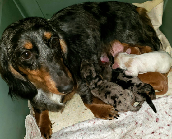 A Dollop of Doxies: Long-haired Mini Dachshund Breeder