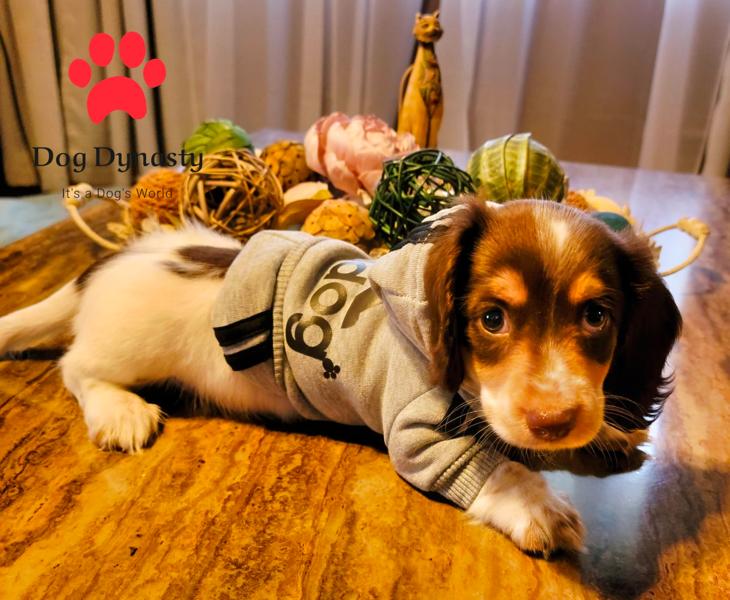 Dog Dynasty Dachshund Breeder in Illinois