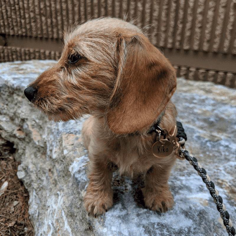 Heartfelt Wire-haired Dachshund Breeder