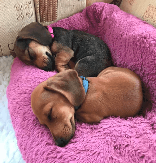 How Much Sleep Do Dachshund Puppies Need