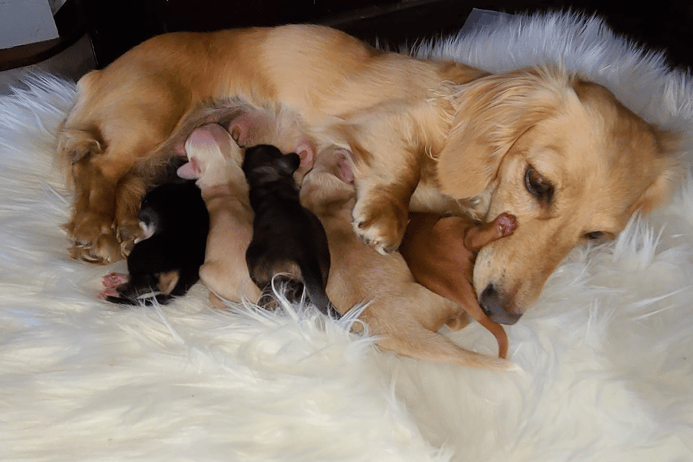 Jo's Doxies: Miniature Long Haired Dachshunds Breeder