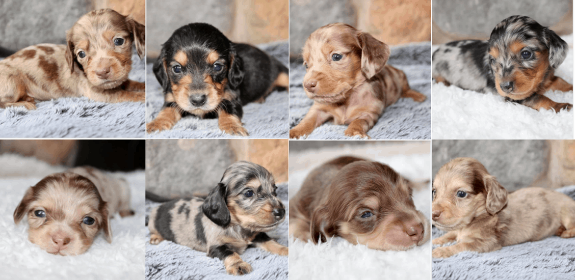 Lexi's Doxies Breeder in Wisconsin