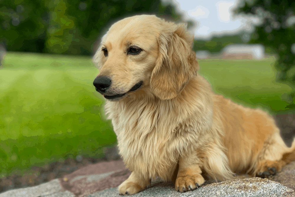 Mare-Bella Long-haired Dachshunds Breeder