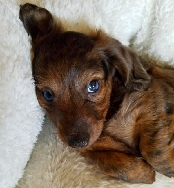 Noel Wiener Ranch long-haired dachshund Breeder in Illinois
