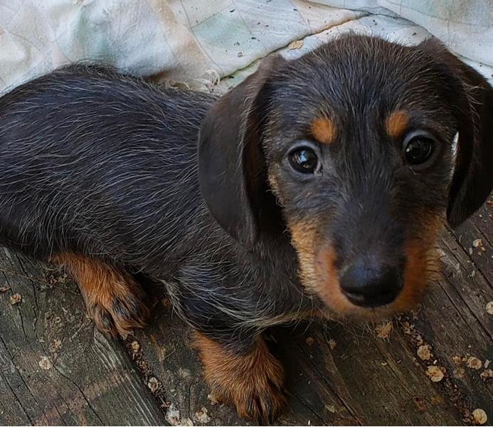 Puppy Luv Wire-haired Dachshund Breeder in Michigan