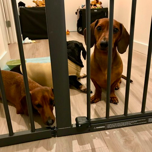 Put Your Dachshunds in a safe space
