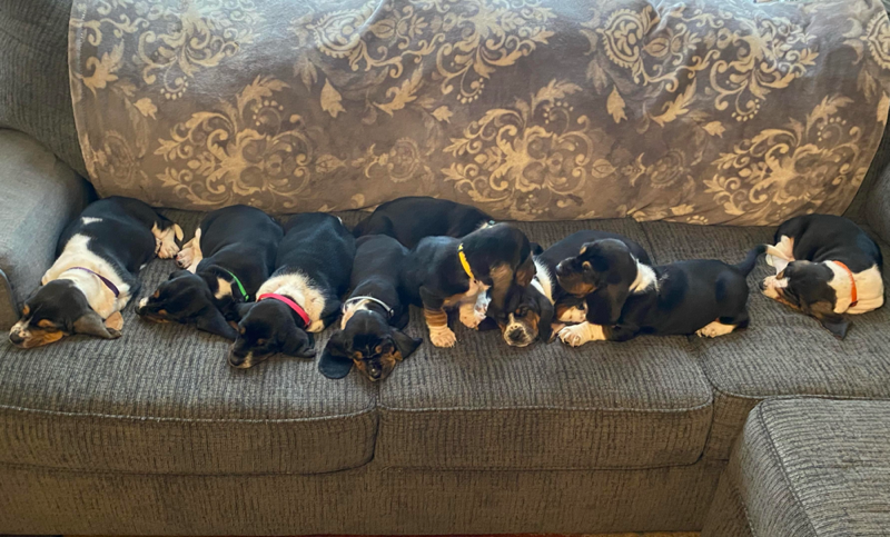 Rolling and Howling Bassett Hounds and Dachshunds