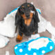 What Causes Separation Anxiety in Dachshunds