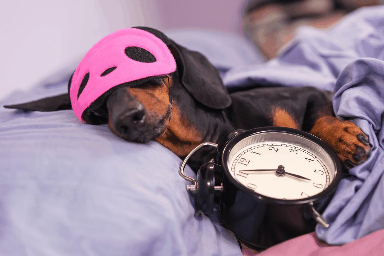 Why do dachshunds sleep so much