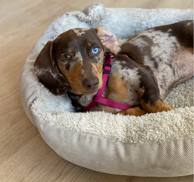 comfortable Bed for Dachshund Separation Anxiety