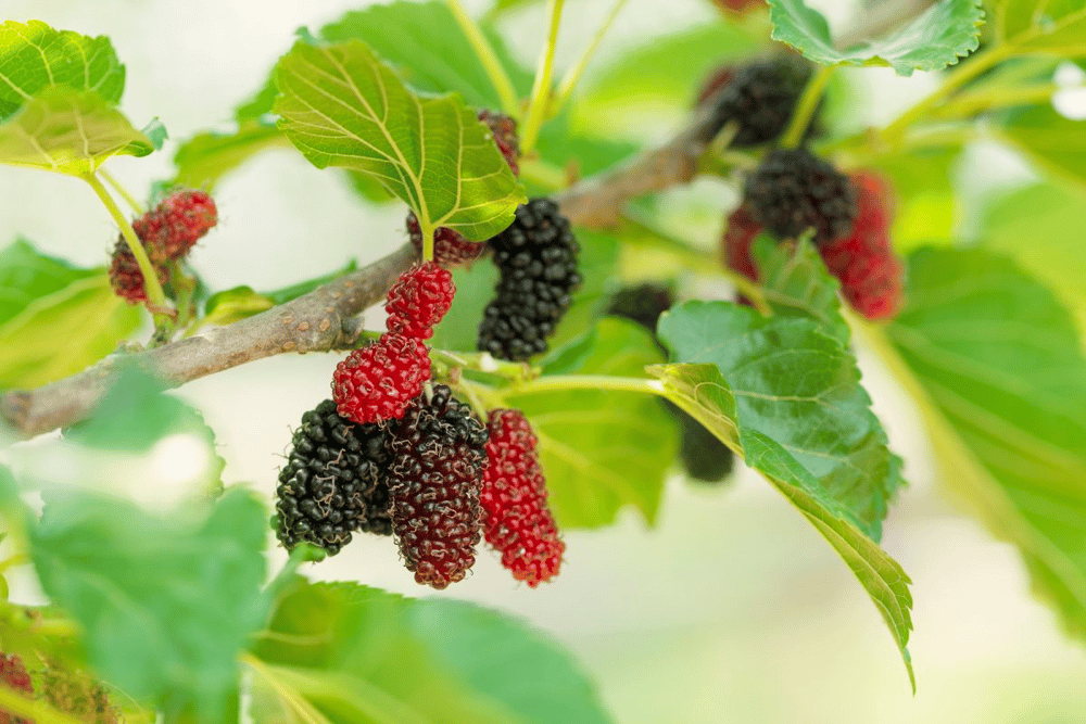 Are Mulberries Safe for Dogs