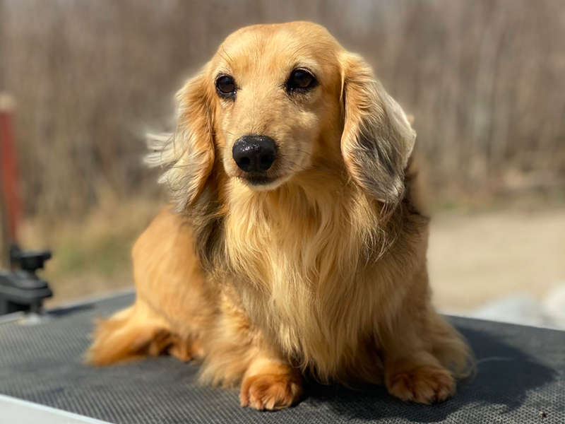 Belle Amore Cream Dachshunds