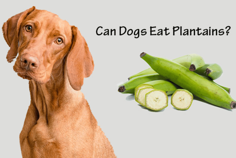 Can Dogs Eat Plantains?