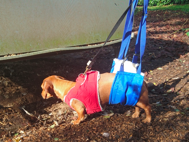 Hind end Sling for Dachshunds with IVDD