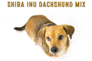 Shibadox - Shiba Inu Dachshund Mix