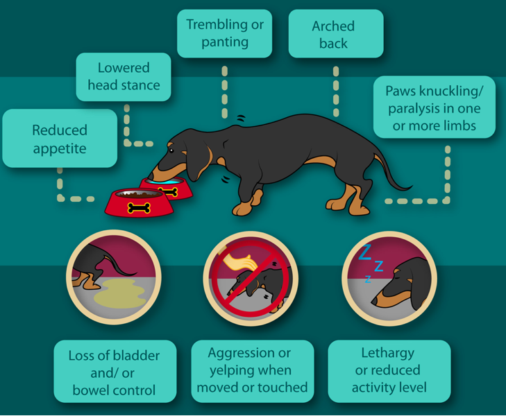 Symptoms of IVDD in Dachshunds
