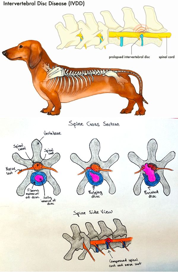 What is IVDD in Dachshunds