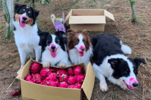 Can dogs eat dragon fruit?