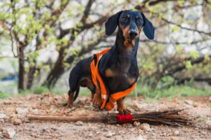 seizure in dachshund