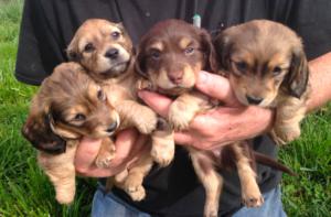 Dachshund Puppies in Maryland