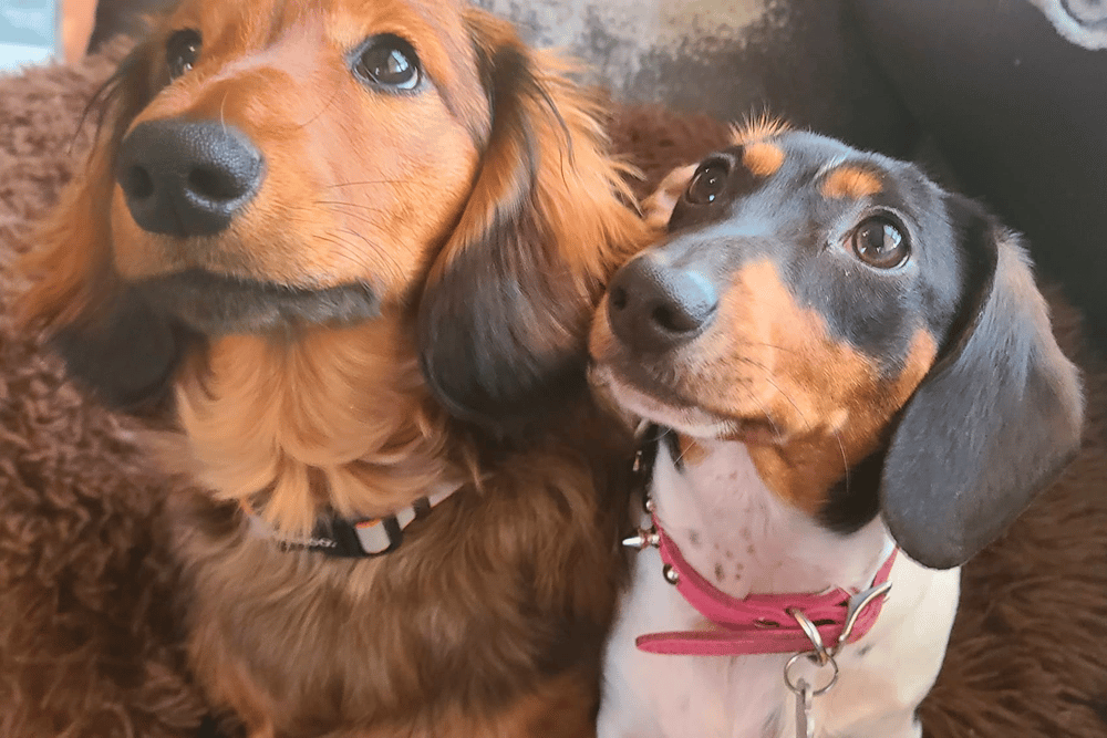 Jersey's Blue Moon Doxies